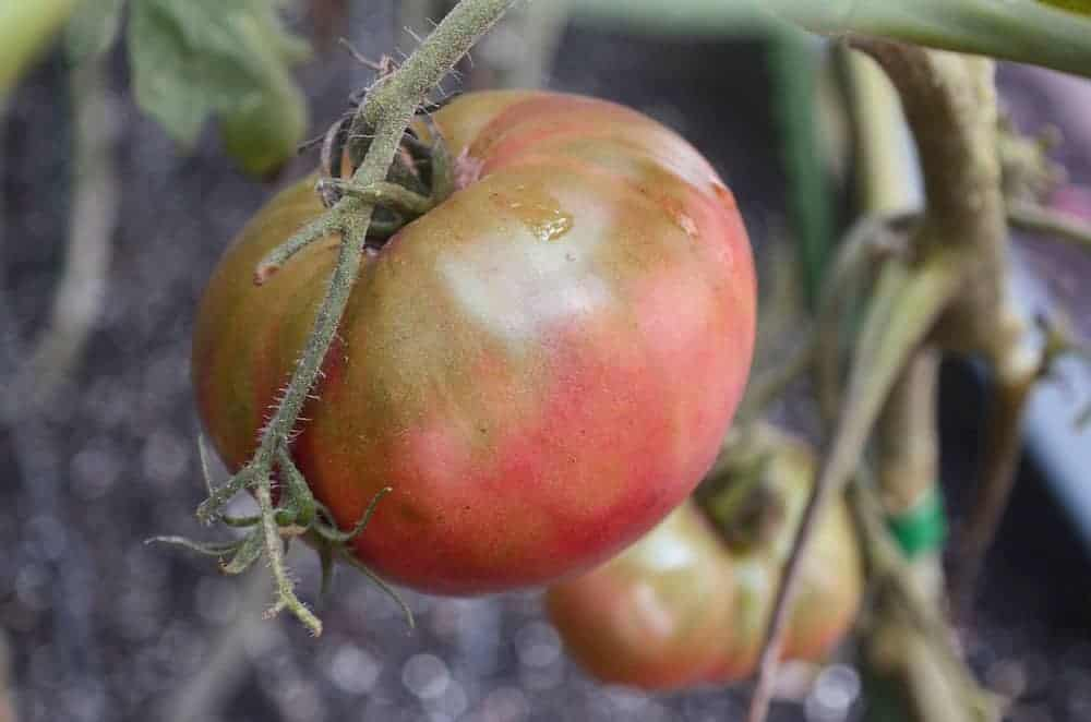Cherokee-Purple-Tomato-June30