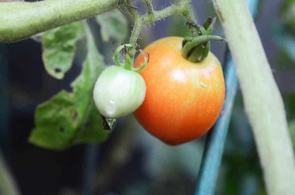 Tomatoes June30