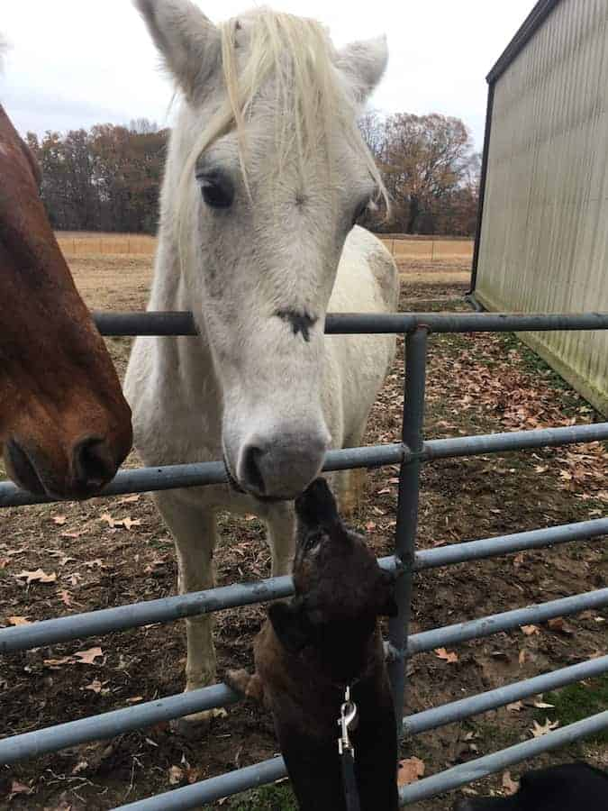 Horses sniffing dog over fence