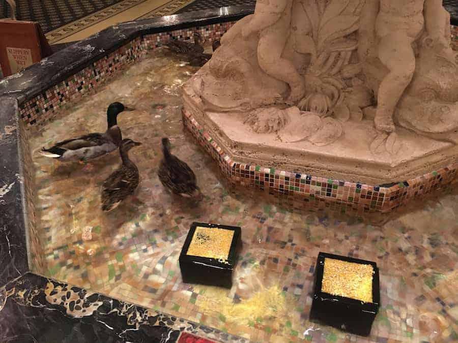 Peabody Hotel ducks swimming in the fountain