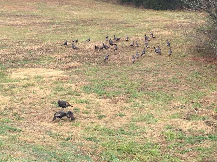 Turkeys in grass